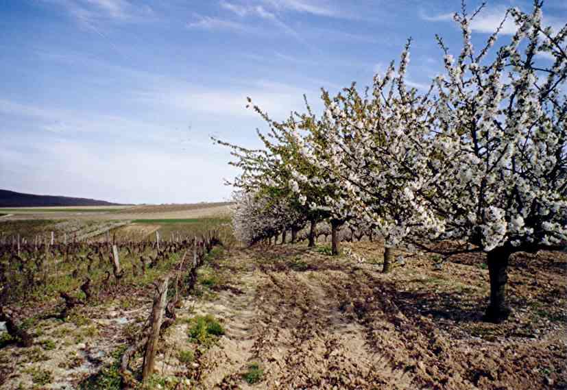 Irancy, domaine viticole et grand vin de Bourgogne Cerisiers_vigne_irancy